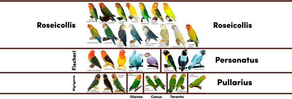 Especies de Agapornis